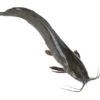 Catfish Ngolo Black Gutted
